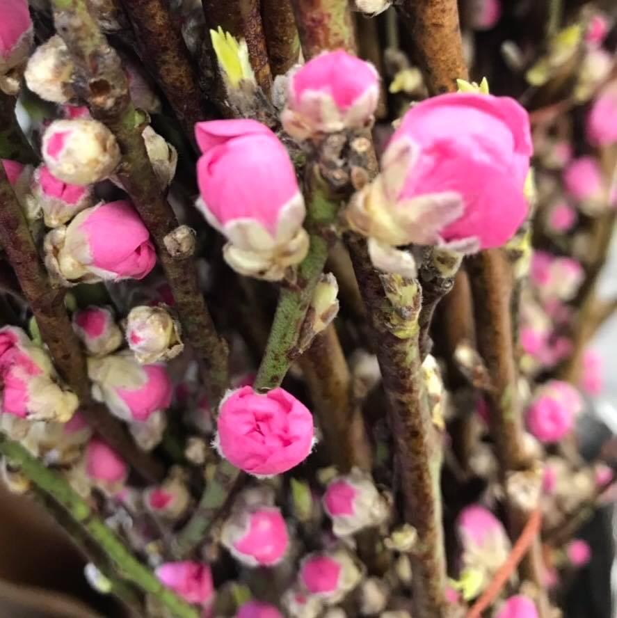 桃の花が、変色する!咲かない!いう方へ